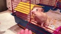 Ce hamster a décidé de faire des grosses reserves de noix