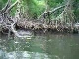 (0753) mangroves (Dominican Republic may.2007)