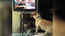 Quand ton chien veut à tout prix rejoindre les chiens dans la TV
