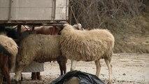 Kontrolli ushqimor; Task forcë për thertoret e mishit - Top Channel Albania - News - Lajme