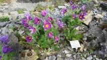 Pulsatilla vulgaris ssp. vulgaris - Gewöhnliche Küchenschelle