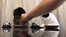 Deux chats commandent des croquettes avec une sonnette