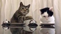 Deux chats utilisent des sonnettes pour avoir des croquettes.
