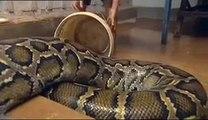 Sambath et Chomran, l amitié incroyable entre un serpent et un an, l amitié