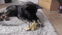 German Shepherd loves his little ducklings