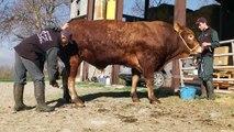 Hautes-Alpes : Cyril et Cédric Hugues se préparent pour les concours du salon de l'élevage haut-alpin