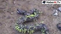 Kirpi yemeye çalışan yılan perişan oldu