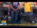 Kneeling carabaos highlight Pulilan's town festival   Unang Hirit