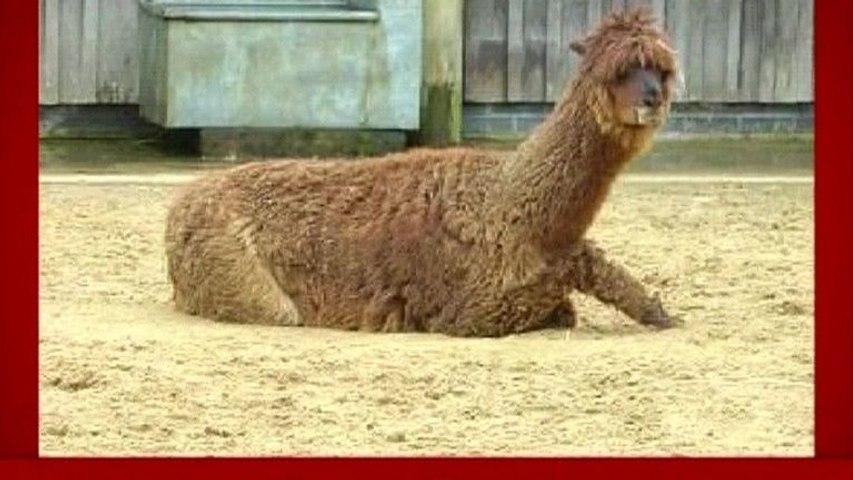 Llama - The Llama Song