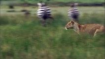 Lioness Hunts Zebra  HD