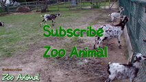 Happy goats in farm animals -  for kids - Animais TVdfgre