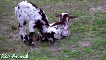 Happy goats in farm animals - Funniest animal video for kids -dfgrt