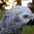 Başkan Olsa Deli Gibi Oy Toplama Potansiyeline Sahip Aşırı Zeki Papağan