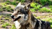Organizaciones ecologistas renuncian al Comité Consultivo del Plan de Gestión del Lobo de Asturias