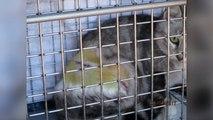 Hautes-Alpes : les chats victimes de pièges à collet à Chorges