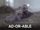 Une portée de guépards absolument adorables !