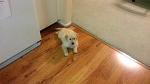 Cute Puppy Watching Us Clean Dishes in the Kitchen - English Cream Golden Retriever 8 Weeks Old (2 Months)