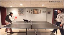 Ce chat aime jouer au ping-pong