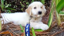 Adorable Puppy Playing With a Leaf in the Bushes - English Cream Golden Retriever 8 Weeks Old (2 Months)