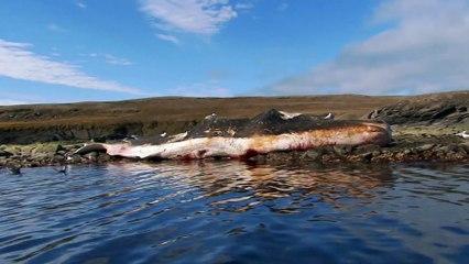 Des ours se régalent d'une carcasse de cachalot