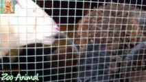 Sheep and lambs haparm - Farm animals video for Kids - Animais TV