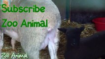 Sheep and lambs happy in his housbcbe on farm - Farm animals video for Kids - Ani