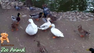 Real Duck Chickens Gfdfdoose Pigeon Swan in farm a