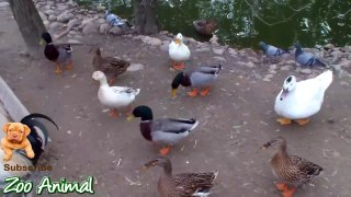 Real Duck Chickens Goose Pig farm animals Farm Ani