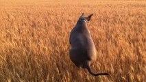 Ya pas que le lapin qui saute... Compilation de sauts de chiens