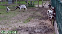 Happy goats in farm animals - Funniest animal video for kids3456546TV