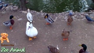 Real Duck Chickens igeon Swan in farm animals Farm