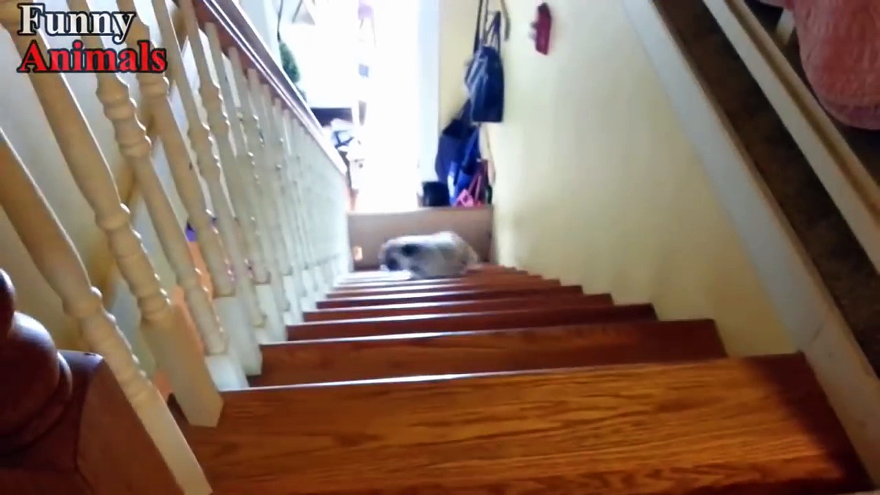 Funny Dogs Vs Stairs Funny Dog Videos 2017