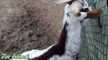 Happy goats in farm animals - Funniest animal vi