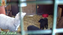 Sheep and lambs happy in his house on farm - Farm animals vi