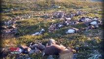 Des centaines de rennes foudroyés et tuées en meme temps