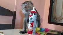 Ce singe kiffe la crème chantilly à la bombe !