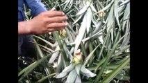 ananas çiftliği - Meksika ananas nasıl yetişir izle
