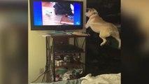 Un chien veut jouer avec des chiens à la télé.