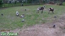 Happy goats in farm animals - Funni34534rewrwer