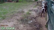 Happy goats in farm animals - Funniest animal vdsf345345nimais TV