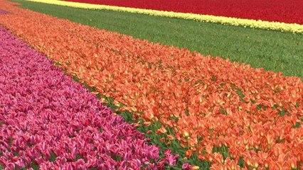 It's tulip season!