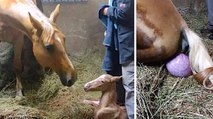 Pregnant Horse Gives Birth To Foal, But They Notice Her Strange Afterbirth And Come Running