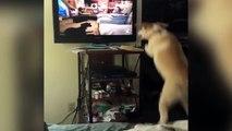 un chien veut jouer avec d'autres chiens à la TV