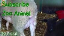 Sheep and lambs farm - Farm animals video for Kids - Animais TV