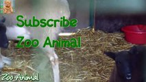 Sheep and lambs happy in h- Farm animals video for Kids - Animais TV
