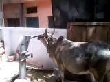 Intelligent Cow Drinking Water from Tap || Amazing Cow || Must Watch