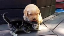 Ce chiot golden retriever est vraiment amoureux de son nouvel ami