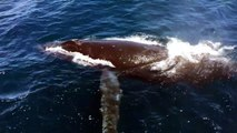 Humpback Whales 'Whisper' To Avoid Getting Hunted By Killer Whales