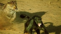 Leopard kills baboon!Leopard Kills Baboon || Leopard Hunts Impala || Leopard Kills Cheetah
