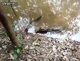 Cet alligator attaque une anguille électrique et meurt électrocuté
